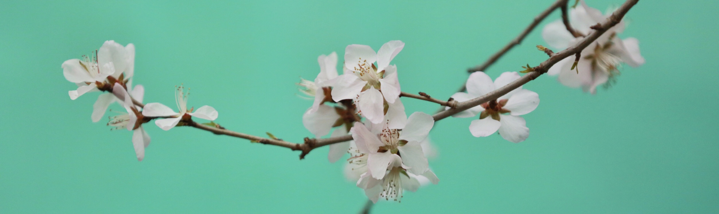 blossom on aqua background